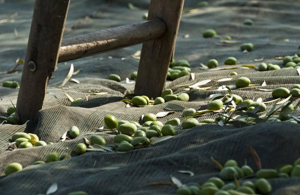 Strumenti alla mano la raccolta delle olive iniziata for Raccolta olive periodo